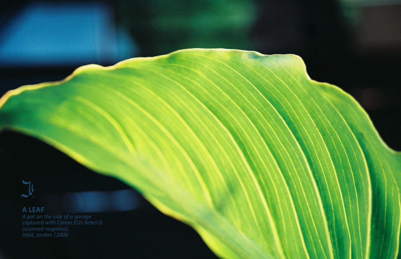 ahmad-ajlouny-a-leaf